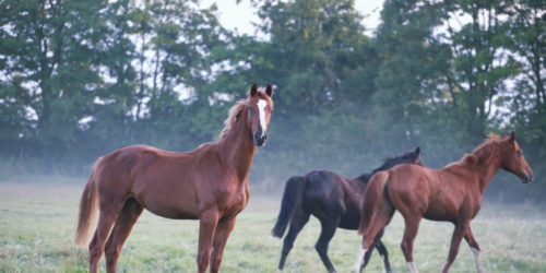 horses on foggy pasture in summer morning